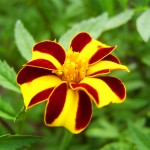 Marigold from Denmark