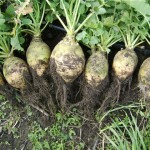 Nadmorska Rutabaga from Lithuania